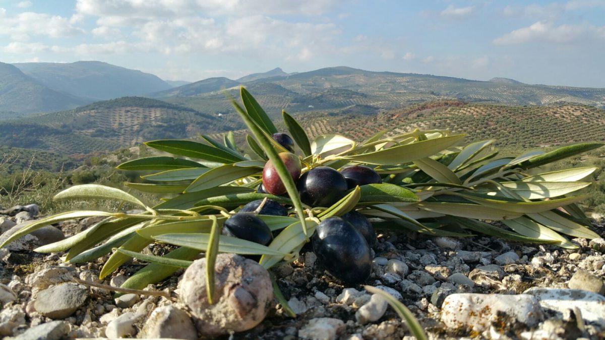 Variedades de aceituna más cultivadas en España