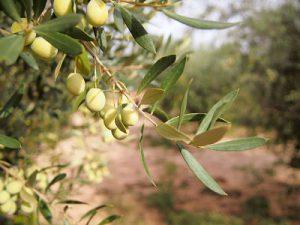 Recolección 9 oliveres